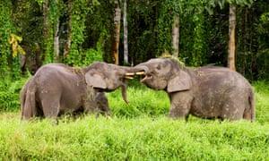 Pygmy elephant males play-fighting near the Kinabatangan river in Borneo.