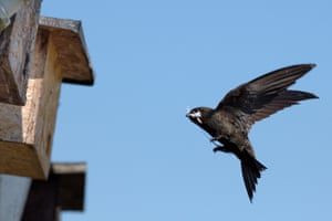 A swift flies to a nest box attached to the eaves of a cottage with a nesting materials in its beak.