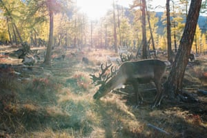 A reindeer grazing in the forest in Mongolia