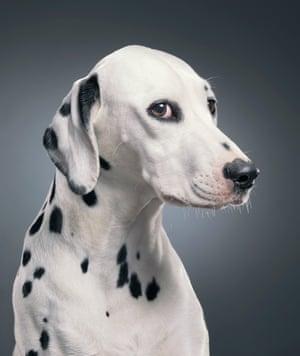 Lilly, a dalmatian dog