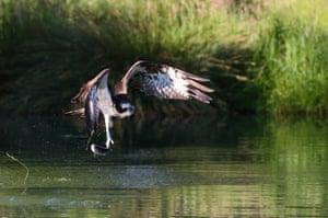 An osprey at Horn Mill Trout Farm in Rutland.
