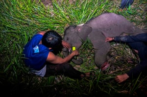 An Indonesian ranger treats an injured baby elephant left behind by its herd in Siak, Riau
