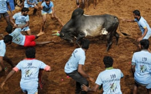 Madurai, India: A bull charges during a traditional bull-taming festival called Jallikattu in the village of Allanganallur. Jallikattu involves releasing a bull into a crowd of people who are expected to hang on to the animal's hump for a stipulated distance or a minimum of three jumps
