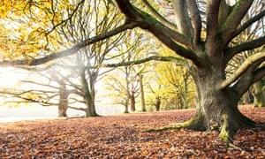 Beech trees on Hampstead Heath