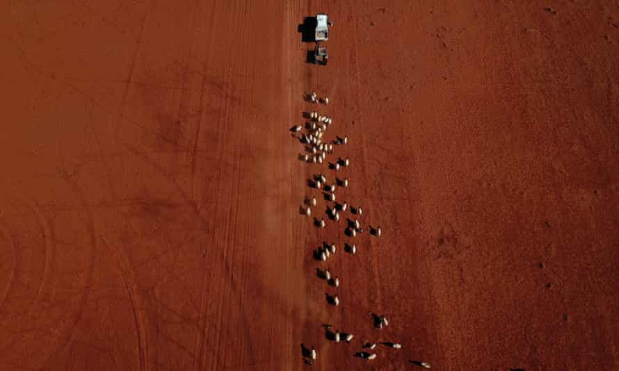 An aerial image of sheep as they follow a ute delivering cotton seed on a drought affected property near Bollon in southwest Queensland