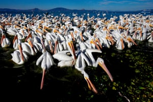 White pelicans, one of the largest birds from Canada and the US, are seen at the shore of the Chapala lagoon in Cojumatlan, Mexico. White pelicans travel thousands of kilometres migrating from the low temperatures of North America