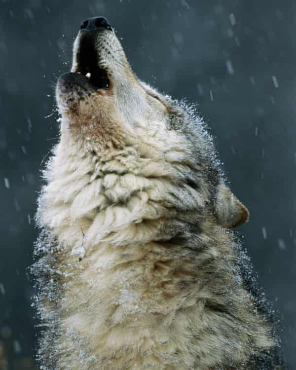 A gray wolf howls in Montana.