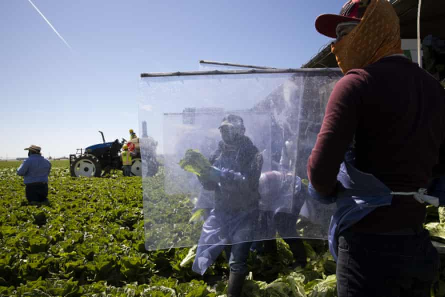 Farm workers wear protective equipment and work behind plastic dividers in the field.