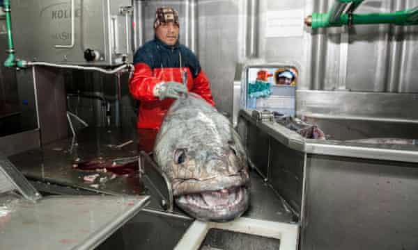 Processing a toothfish on board a fishing vessel in the south Atlantic