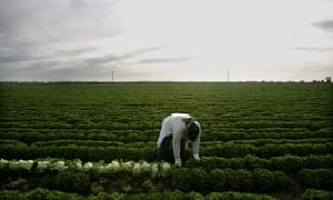 A farm worker harvests lettuce near the border town of Calexico, California.