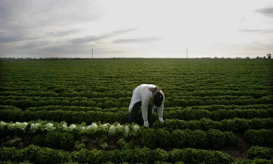 A farm worker harvests lettuce in a field near Calexico, California