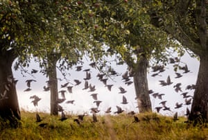 A flock of starlings take flight under trees in Frankfurt, central Germany
