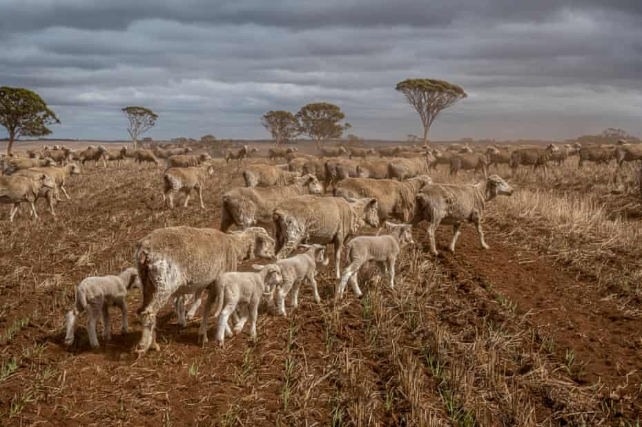 Sheep crossing Simon Wallwork and Cindy Stevens' 3600 Hectare Farm in Corrigin, Great Southern district of Western Australia.