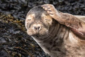 A young seal rubs its head on the Isle of Man, UK