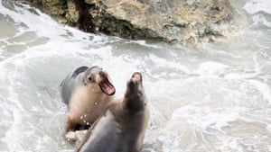 Sea lions playing.