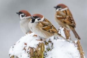 Tree sparrows perch on a snow-covered tree trunk in Almelo, The Netherlands