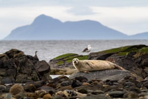 A blonde colour common seal rests on the shoreline of the Isle of Bute, Scotland
