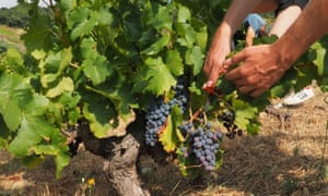 'I keep coming back to grenache': harvest in southern France.