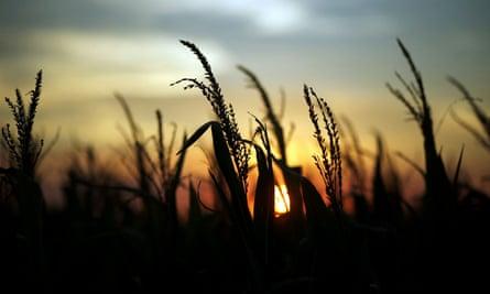 Corn plants are seen at sunset in a farm near Rafaela, Argentina