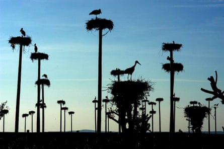 Storks nest on top of prefabricated posts near Caceres, Extremadura