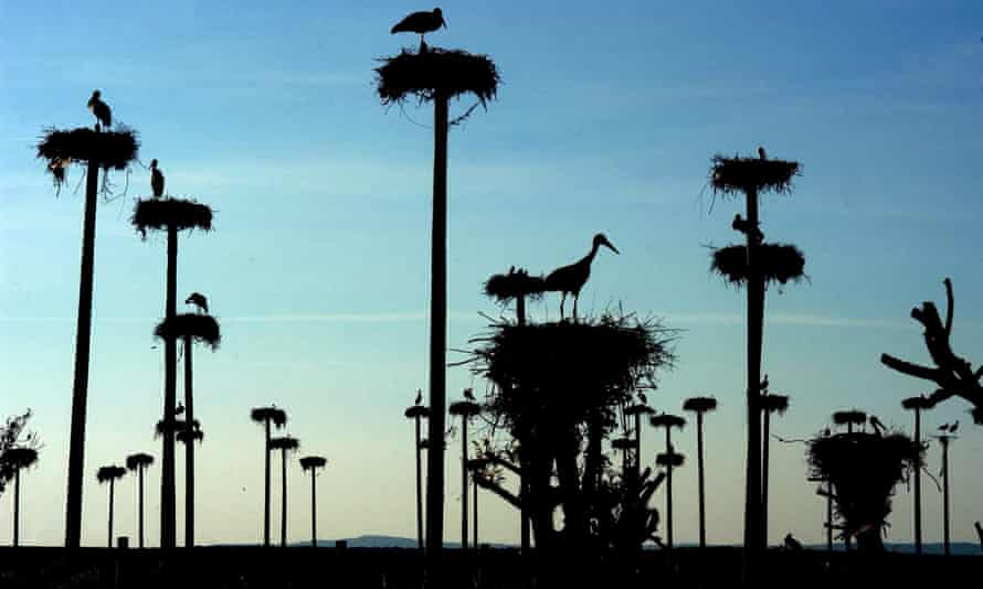Storks in their nests on prefabricated posts in an estate near Caceres, Extremadura, Spain