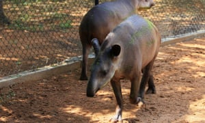 Tapirs at Venezeuala's Zulia's Metropolitan Zoological Park in Maracaibo. Some species at the zoo have been stolen for food say authorities.