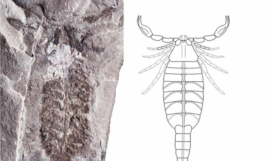 Parioscorpio venator  fossil