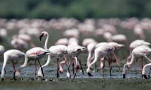 Flamingos at Sewri.