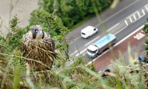 A juvenile peregrine falcon perched on a cliff above a road in Bristol, England.