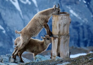 The Chamois CalvesTwo chamois calves drink water early morning, before tourists arrive at the scenic viewpoint of Gornergrat at 3,135 metres in the Swiss Alps. Gornergrat is a rocky ridge surrounded by many 4,000 metre peaks. I was up early to capture the alpine sunrise on the peaksPhotograph: Fi Photos/GuardianWitness