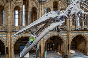 Rob Mcleod, a member of the Natural History Museum's conservation team, gives Hope the blue whale skeleton a final inspection in preparation for the London museum's reopening on 5 August.