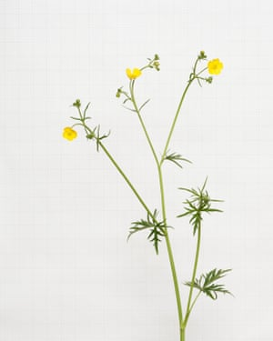 Meadow Buttercup wildflower photographed by Kathryn Martin