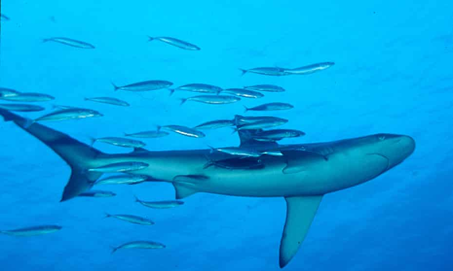 Galapagos sharks live in the temperate waters off the Kermadec Islands.