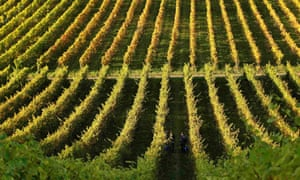 Workers pick grapes at the Denbies vineyard in Surrey, southern England.