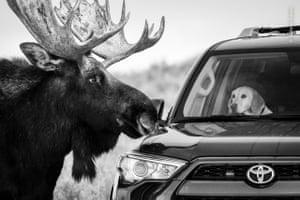Moose challenges dog in car