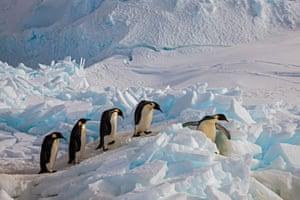 A row of emperor penguins on the move at Cape Washington, Ross Sea, Antarctica