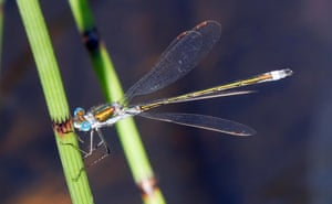The emerald damselfly, Lestes sponsa, is one of our commonest damselfly species.
