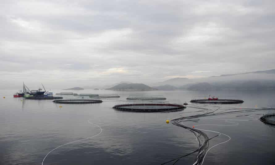 Salmon farming in Hitra Bay, west of Trondheim in Norway. Each circular net contains some 120,000 salmons.