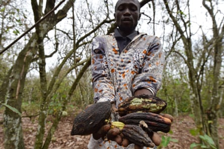 A cocoa farmer holds dried cocoa pods in Ivory Coast where insects have eaten the cocoa trees.