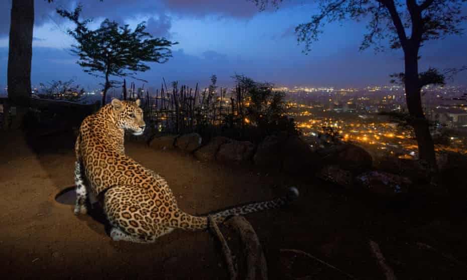 leopard overlooks mumbai  Sanjay Gandhi National Park.