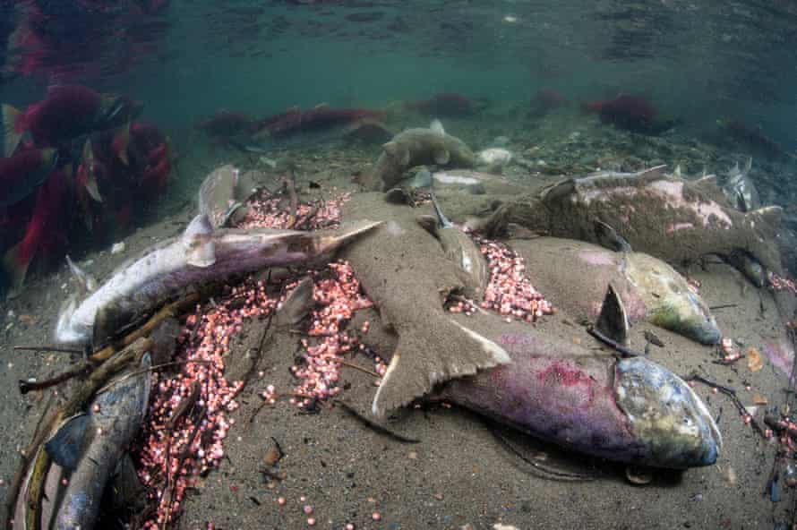A group of dead sockeye salmon (Oncorhynchus nerka) and eggs in their spawning river.