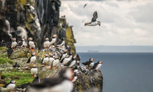 Group of Atlantic puffins, Scotland