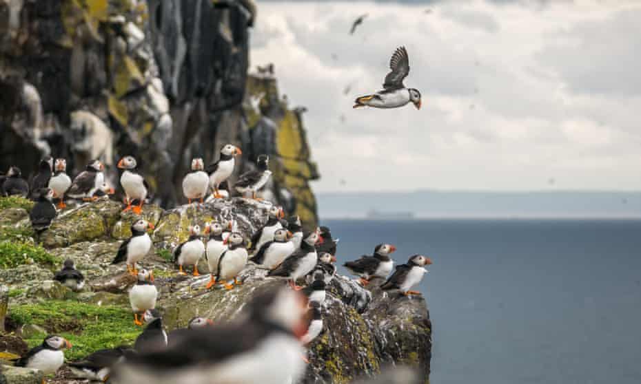 Group of Atlantic puffins, Scotland