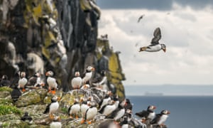 'A bird unparalleled in its ability to cheer a weary soul': puffins on the Isle of May, five miles off Anstruther.