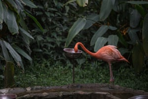 An American flamingo is fed at the Santacruz Foundation zoo in Tequendama, Colombia