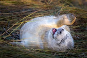 A young seal pup turns on its back in the early sunshine in Donna Nook, Lincolnshire, England