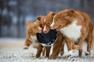Third place, Dogs at Play: Nova Scotia duck tolling retrievers
