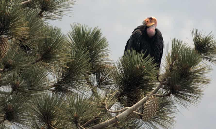 A California condor is perched atop a pine tree in the Los Padres national forest, east of Big Sur, California.