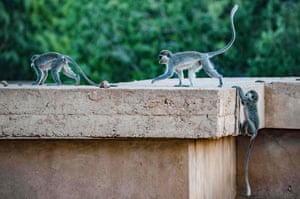 Vervet monkeys on the campus of the Khartoum university in the Sudanese capital. Hundreds of monkeys that mainly live on the rooftops of the campus also hop around freely among students who often give them treats.