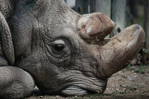 Sudan, the 45-year-old northern white rhino that died in March 2018.